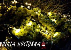 Uvas chardonnay de noche e iluminadas por luces navideñas.